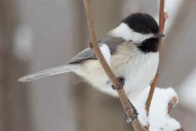 winter-chickadee